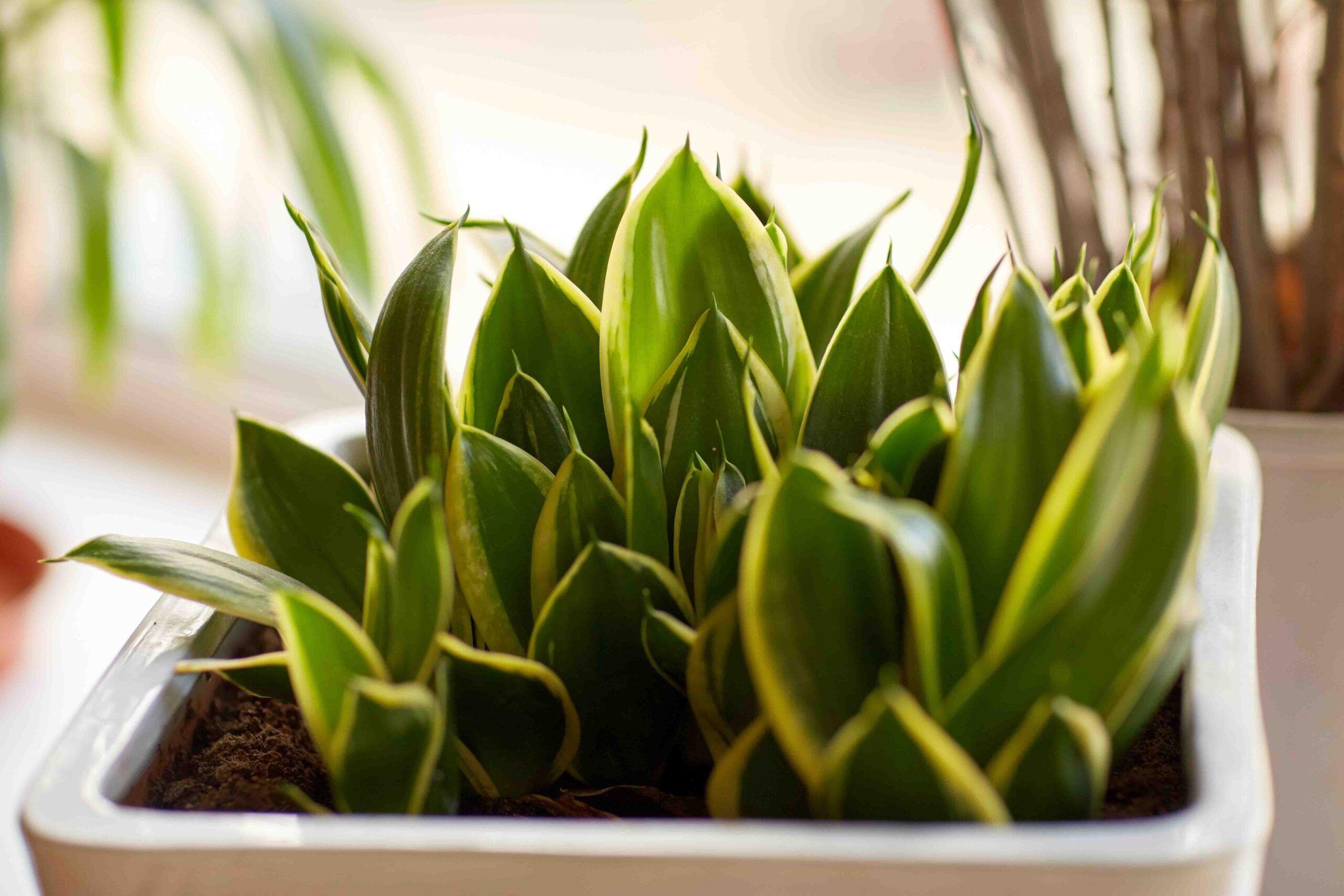 SANSEVIERIA plantas medicinales